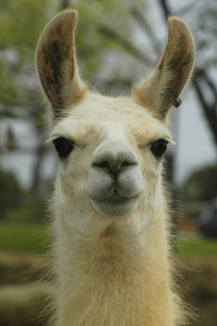 spitting-llama