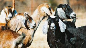 goats-kids